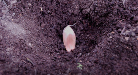 Tips That You Have To Know Before Planting Garlic
